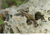 http://mczbase.mcz.harvard.edu/specimen_images/herpetology/large/OBS40_L_lunatus_lunatus_1of1.jpg