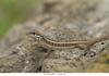 http://mczbase.mcz.harvard.edu/specimen_images/herpetology/large/OBS42_L_personatus_trujilloensis_1of1.jpg