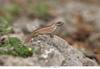 http://mczbase.mcz.harvard.edu/specimen_images/herpetology/large/OBS43_L_personatus_trujilloensis_1of1.jpg