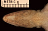 http://mczbase.mcz.harvard.edu/specimen_images/herpetology/large/R110295_A_extremus_hv.jpg