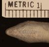 http://mczbase.mcz.harvard.edu/specimen_images/herpetology/large/R1102_C_boutoni_poecilopleurus_S_hv.jpg