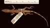 http://mczbase.mcz.harvard.edu/specimen_images/herpetology/large/R11143_A_paternus_paternus_P_d.jpg