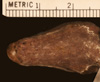 http://mczbase.mcz.harvard.edu/specimen_images/herpetology/large/R111795_C_paulsoni_mcdowelli_H_hv.jpg