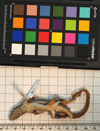 http://mczbase.mcz.harvard.edu/specimen_images/herpetology/large/R115643_L_lunatus_lunatus_v.jpg
