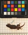 http://mczbase.mcz.harvard.edu/specimen_images/herpetology/large/R118597_L_lunatus_lunatus_d.jpg