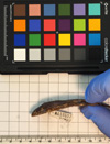 http://mczbase.mcz.harvard.edu/specimen_images/herpetology/large/R118597_L_lunatus_lunatus_l.jpg