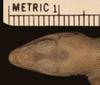 http://mczbase.mcz.harvard.edu/specimen_images/herpetology/large/R11908_A_homolechis_homolechis_P_hd.jpg