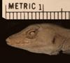 http://mczbase.mcz.harvard.edu/specimen_images/herpetology/large/R11908_A_homolechis_homolechis_P_hl.jpg