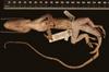 http://mczbase.mcz.harvard.edu/specimen_images/herpetology/large/R119388_A_equestris_juraguensis_P_v.jpg