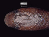 http://mczbase.mcz.harvard.edu/specimen_images/herpetology/large/R119539_C_nanus_P_hd.jpg