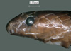 http://mczbase.mcz.harvard.edu/specimen_images/herpetology/large/R119539_C_nanus_P_hl.jpg