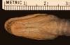 http://mczbase.mcz.harvard.edu/specimen_images/herpetology/large/R12026_L_ahaetulla_coeruleodorsus_P_hv.jpg