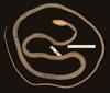 http://mczbase.mcz.harvard.edu/specimen_images/herpetology/large/R12026_L_ahaetulla_coeruleodorsus_P_v.jpg