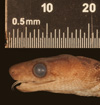 http://mczbase.mcz.harvard.edu/specimen_images/herpetology/large/R125602_E_gracilis_hapalus_H_hl.jpg
