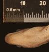 http://mczbase.mcz.harvard.edu/specimen_images/herpetology/large/R125602_E_gracilis_hapalus_H_hv.jpg