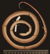 http://mczbase.mcz.harvard.edu/specimen_images/herpetology/large/R125602_E_gracilis_hapalus_H_v.jpg