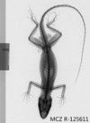 Media of type image, MCZ:Herp:R-125611 Identified as Anolis barahonae albocellatus type status Holotype of Anolis barahonae albocellatus.