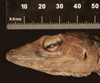 http://mczbase.mcz.harvard.edu/specimen_images/herpetology/large/R132356_A_baleatus_altager_H_hl.jpg