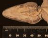 http://mczbase.mcz.harvard.edu/specimen_images/herpetology/large/R132356_A_baleatus_altager_H_hv.jpg