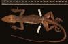 http://mczbase.mcz.harvard.edu/specimen_images/herpetology/large/R132388_A_barahonae_ininquinatus_H_d.jpg