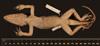 http://mczbase.mcz.harvard.edu/specimen_images/herpetology/large/R132389_A_barahonae_mulitus_H_v.jpg