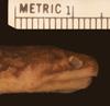 http://mczbase.mcz.harvard.edu/specimen_images/herpetology/large/R136090_A_arafurae_P_hl.jpg