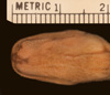 http://mczbase.mcz.harvard.edu/specimen_images/herpetology/large/R136090_A_arafurae_P_hv.jpg
