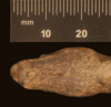 http://mczbase.mcz.harvard.edu/specimen_images/herpetology/large/R14521_C_paulsoni_paulsoni_H_hv.jpg