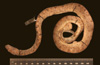 http://mczbase.mcz.harvard.edu/specimen_images/herpetology/large/R14521_C_paulsoni_paulsoni_H_ll.jpg