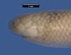 http://mczbase.mcz.harvard.edu/specimen_images/herpetology/large/R14782_A_aspinosus_H_hl.jpg