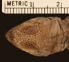 http://mczbase.mcz.harvard.edu/specimen_images/herpetology/large/R15582_D_dorsalis_lucasensis_P_hd.jpg