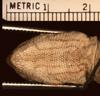 http://mczbase.mcz.harvard.edu/specimen_images/herpetology/large/R15582_D_dorsalis_lucasensis_P_hv.jpg