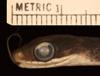 http://mczbase.mcz.harvard.edu/specimen_images/herpetology/large/R156955_D_graciliverpa_P_hl.jpg
