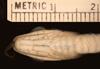 http://mczbase.mcz.harvard.edu/specimen_images/herpetology/large/R156955_D_graciliverpa_P_hv.jpg