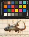 http://mczbase.mcz.harvard.edu/specimen_images/herpetology/large/R158229_L_lunatus_lunatus_d.jpg