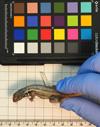 http://mczbase.mcz.harvard.edu/specimen_images/herpetology/large/R158229_L_lunatus_lunatus_l.jpg