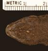 http://mczbase.mcz.harvard.edu/specimen_images/herpetology/large/R161090_L_archeforus_gallardoi_P_hd.jpg