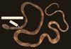 http://mczbase.mcz.harvard.edu/specimen_images/herpetology/large/R164675_D_latifasciata_d.jpg