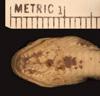 http://mczbase.mcz.harvard.edu/specimen_images/herpetology/large/R17099_S_nebulata_nebulata_hv.jpg