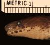 http://mczbase.mcz.harvard.edu/specimen_images/herpetology/large/R173870_Atractus__hl.jpg