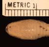 http://mczbase.mcz.harvard.edu/specimen_images/herpetology/large/R173871_A_sp_hv.jpg