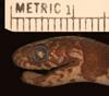 http://mczbase.mcz.harvard.edu/specimen_images/herpetology/large/R17404_D_latifasciata_hl.jpg
