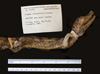 http://mczbase.mcz.harvard.edu/specimen_images/herpetology/large/R17581_C_crocodilus_fuscus_lateral_r.jpg