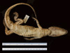 http://mczbase.mcz.harvard.edu/specimen_images/herpetology/large/R17581_C_crocodilus_fuscus_v.jpg