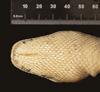 http://mczbase.mcz.harvard.edu/specimen_images/herpetology/large/R176002_B_constrictor_longicauda_H_hv.jpg