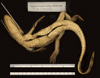 http://mczbase.mcz.harvard.edu/specimen_images/herpetology/large/R17603_C_crocodilus_fuscus_v.jpg