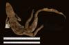 http://mczbase.mcz.harvard.edu/specimen_images/herpetology/large/R17604_C_crocodilus_fuscus_d.jpg