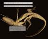 http://mczbase.mcz.harvard.edu/specimen_images/herpetology/large/R17605_C_crocodilus_fuscus_v.jpg