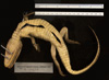 http://mczbase.mcz.harvard.edu/specimen_images/herpetology/large/R17607_C_crocodilus_fuscus_v.jpg