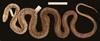 http://mczbase.mcz.harvard.edu/specimen_images/herpetology/large/R177202_A_cinereus_S_d.jpg